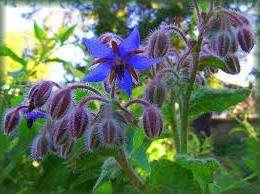 Это растение, которое еще называют огуречной травой, обладает отличной декоративностью, так что его можно сажать в цветниках.