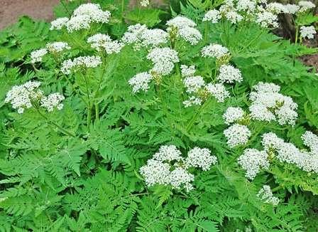 Растение, которое похоже по вкусовым характеристикам на петрушку. Его используют только в свежем виде.