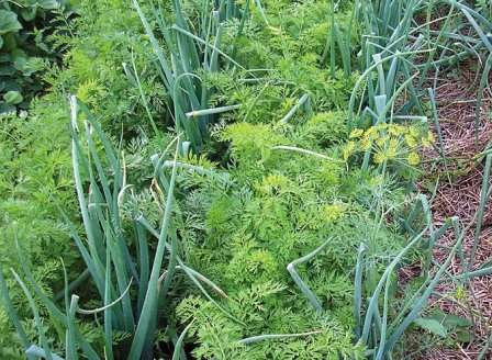 Соседство с луком полезно вдвойне, ведь морковь также защищает лук от привлекаемых им вредителей.