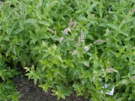 Растение очень распространено как лекарство и приправа. Оно дает эффект обезболивания и снятия спазма, улучшает пищеварение и успокаивает нервную систему.