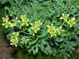 Листья этого неприхотливого кустарника используются в основном для приготовления мясных и овощных блюд, а также маринадов.
