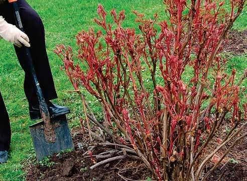 Если переносится целое растение, то желательно оставлять на корневище земляной ком.