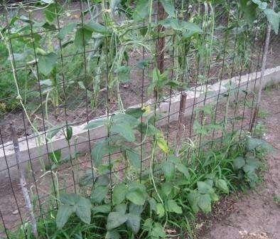 Самой лучшей опорой для лиановой фасоли станет веревочная шпалера — в таком случае семена сажают в ряд с шагом в 10-20 см.