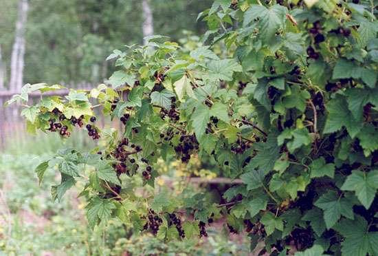 Смородина, которая обычно произрастает в болотистых местностях, плохо переносит жгучие солнечные лучи.
