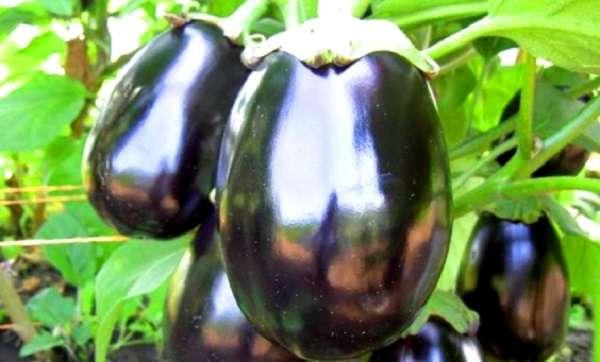 Баклажан Черный красавец, отзывы, фото