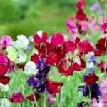 Как вырастить душистый горошек из семян: время посадки, уход, фото