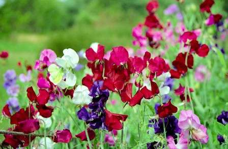 Как вы догадались, дорогие дачники и фермеры, герой нашего сегодняшнего рассказа — душистый горошек. Выращивание из семян, когда сажать, фото и описание — все это в статье.