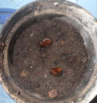 В каждый горшочек помещают по два пророщенных семечка.