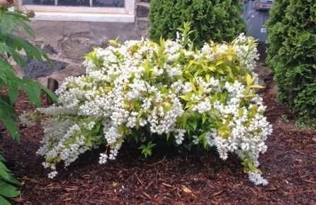 Дейция при благоприятных условиях быстро разрастается, поэтому ее не следует сажать близко к растительным или другим объектам.