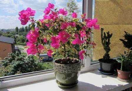 Чтобы растение радовало глаз, нельзя допускать пересыхание субстрата, в котором находятся его корни.