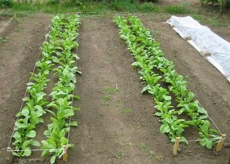 Сажать рассаду дайкона нужно по схеме 30х60 см.