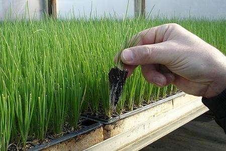 Чтобы за один год из семян получить маточные луковицы, необходимо вырастить рассаду.
