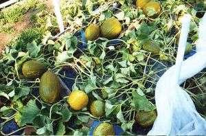 Для того чтобы дыни и арбузы лучше обогревались солнцем и не поддавались воздействию сырой земли, под каждый плод следует подложить фрагмент доски, черепицы или керамической плитки.