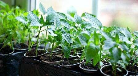 Хорошо показал себя раствор золы. В нем и семена замачивают, и ним же поливают рассаду.