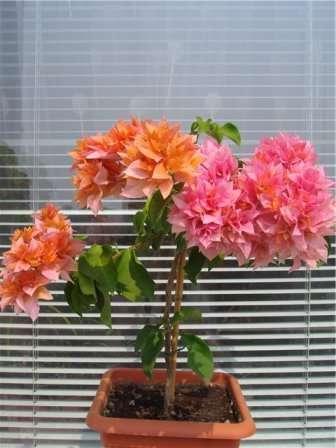По мере роста разноцветных побегов, их можно будет переплетать между собой, создавая очаровательную цветочную композицию.