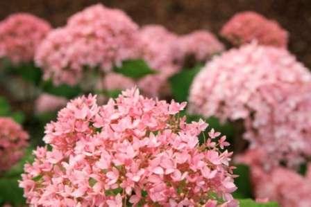 Гортензию нельзя назвать слишком требовательной к составу почвы, однако свои предпочтения растение все-таки имеет.