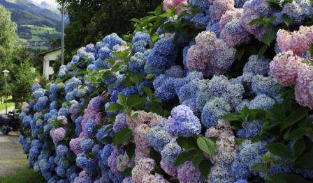 Садоводы говорят, что в год посадки гортензию можно не удобрять.