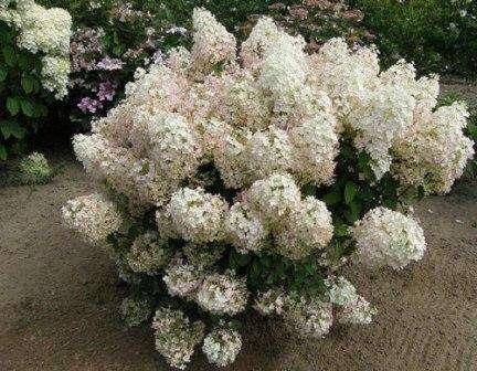 Среди них — гортензия метельчатая садовая. Посадка и уход в открытом грунте — это наша сегодняшняя тема.