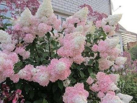 Многие садоводы также хвалят настой крапивы в качестве весеннего удобрения гортензии.
