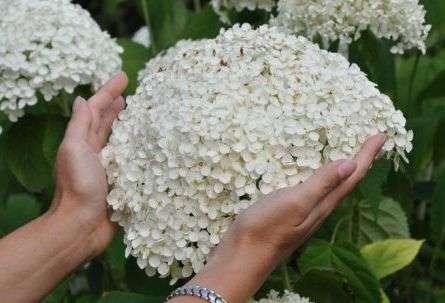 Соцветия древовидной гортензии крупные, шаровидные, окрашенные в белый или кремовый цвет. Кстати, расцветка цветов может меняться.