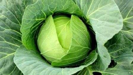 Сегодня мы раскроем вам все особенности выращивания белокочанной капусты в открытом грунте.