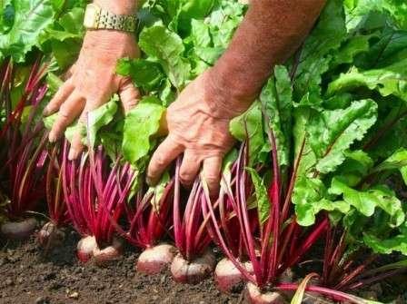 Так, после огурцов особенно удачной будет высадка картофеля, моркови, свеклы, редьки, редиса, лука, чеснока.
