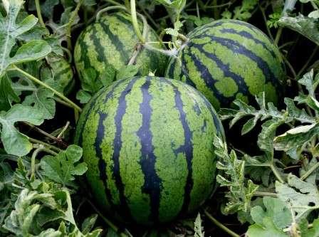 Рекомендованное расстояние между растениями приводится в описании выращивания рассады.