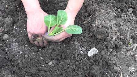 На момент перемещения на постоянное место на рассаде ранней капусты должно быть 5 листов, а ее высота не должна быть менее 13 см.