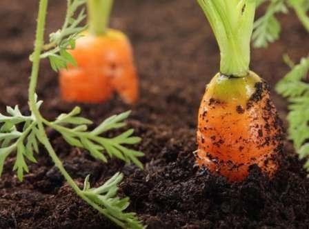 Что сажать после картофеля на следующий год?
