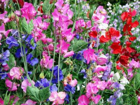 Посадив разные сорта вперемешку, вы получите настоящую радугу на своем участке, как это продемонстрировано на фото.