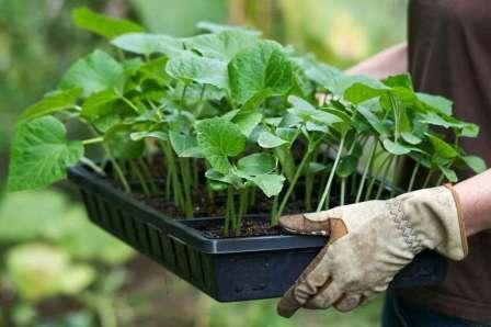 Рассаде нужно много света, регулярный полив и подкормки.