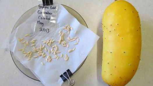 Срывать выбранные плоды можно только когда они полностью созреют — достигнут желто-коричневого цвета и размякнут.