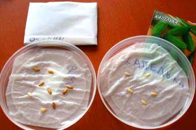 При желании для лучшей всхожести семечки можно прорастить укутав во влажную ткань.