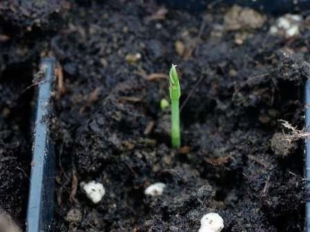 Запашний горошок вирощування з насіння