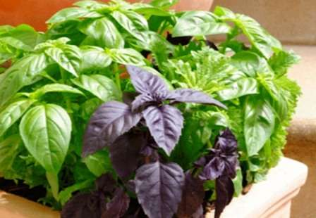 С древнегреческого название этой пряности переводится как «царская трава». Зеленые или фиолетовые листочки этого растения применяются для салатов, мясных блюд, маринадов и в качестве закуски.