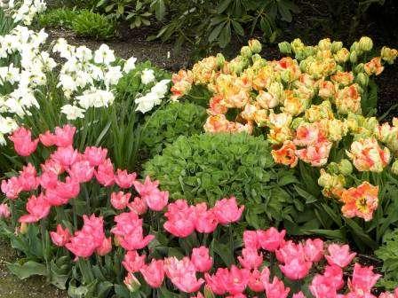 Низкорослые тюльпаны и нарциссы