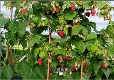 Чтобы получить по-настоящему хороший урожай с малиновых деревьев, сажать их нужно достаточно далеко друг от друга.