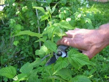 Малиновое дерево требует от садоводов особенного подхода к обрезке.