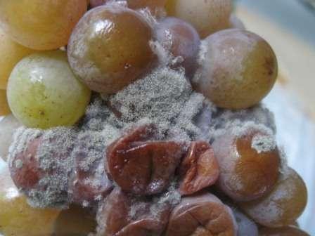 Грибковое заболевание, которое способно поразить любые надземные части виноградного куста.