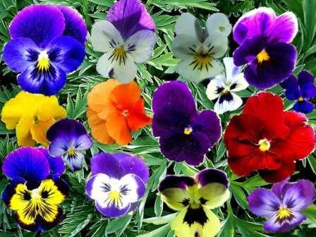 В зависимости от сорта, анютины глазки могут цвести ранней весной или летом.