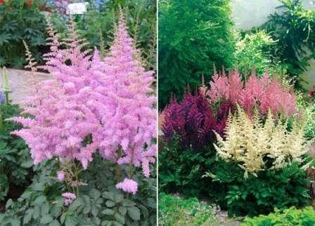 Садоводы особенно любят астильбу за то, что она имеет привлекательный вид не только во время цветения, но также до и после него.