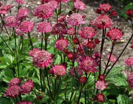 Это довольно необычный многолетний цветок для украшения сада.
