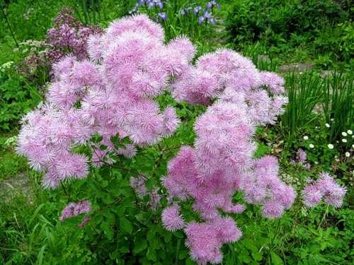 В июле, когда василиски зацветают, создается впечатление, что сад парит в облаках.