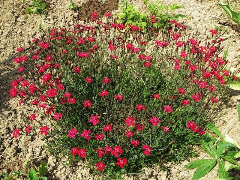 Цветки этого почвопокровного многолетнего растения красные, похожие на цветки дикой гвоздики.