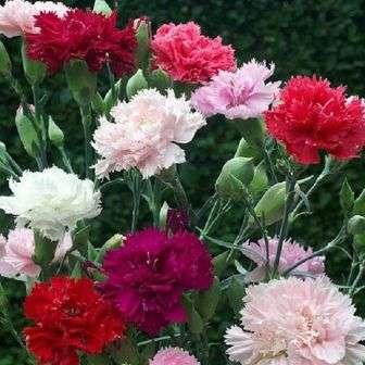 Из двух разновидностей садовой гвоздики — Шабо и Гренадин, только вторую можно выращивать в домашних условиях.