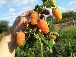 В завершение краткого описания штамбовых сортов малины назовем самые любимые садоводами: «Оранжевое чудо», «Солнышко», «Золотые купола», «Арбат», «Крепыш», «Сказка».