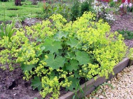Самые популярные разновидности в садоводстве — мягкая и обыкновенная.
