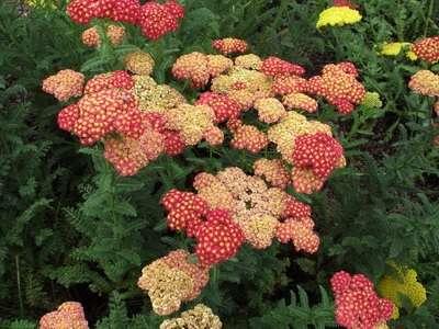 Декоративные разновидности этого лекарского многолетнего растения имеют вместо белых разноцветные соцветия.