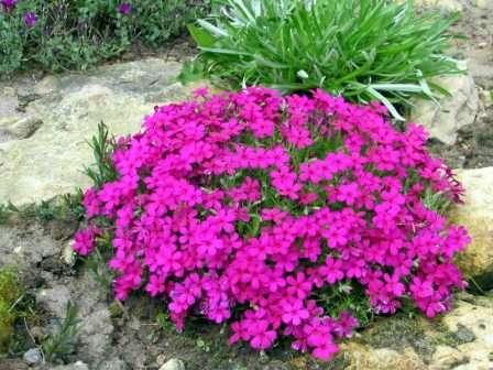 Очень популярное в садоводстве растение, образующее при густой посадке цветущий ковер. Предпочитает питательную и легкую почву.