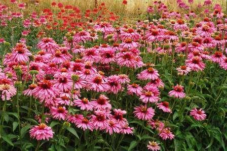 Цветы эхинацеи похожи на разноцветные ромашки. Существует огромный ассортимент окрасок.